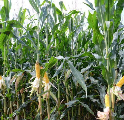 Kukurydza Botanika Szczegolowo O Roslinach