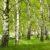 Zasiew brzozy, olszy i akacji